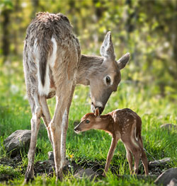 A mother deer and her baby