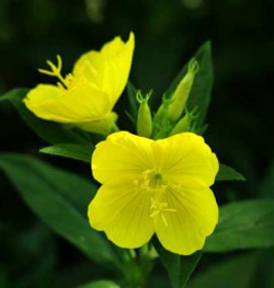 what is it evening primrose oil truth in aging